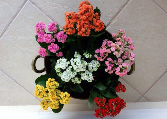 Каланхоэ «Каландива» — длительное цветение почти без ухода