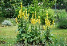 Коровяк, или Вербаскум — не сорняк, а эффектная вертикаль в дизайне цветников