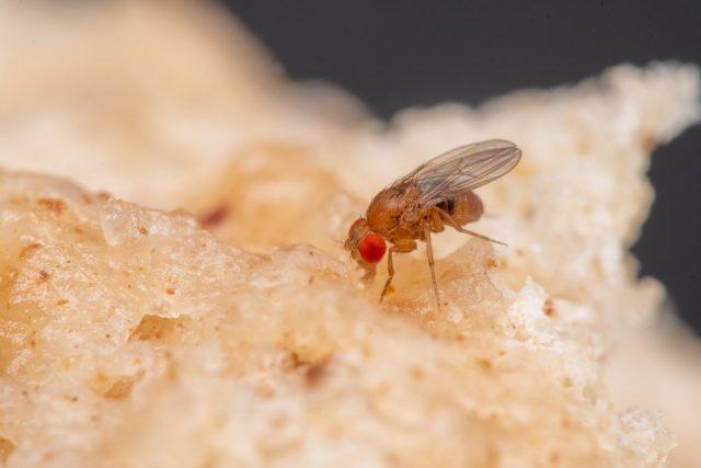 Откуда берутся плодовые мушки и как от них избавиться?