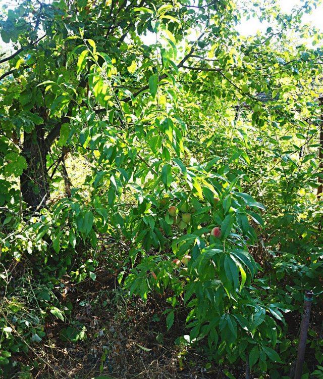 Молодое дерево персика (Prunus persica), сорт «Воронежский кустовой»
