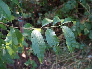 Лёгкое поражение листьев персика клястероспориозом