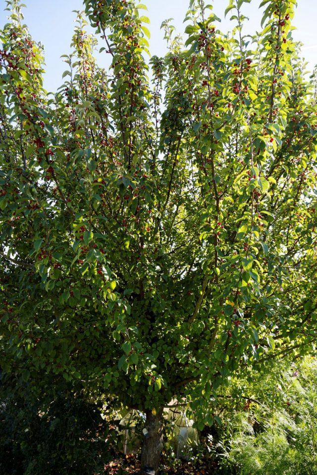 Сибирская ягодная яблоня — самая морозостойкая в мире