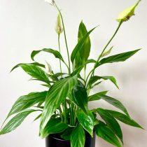 Спатифиллум ложковидный, или геликониелистный (Spathiphyllum cochlearispathum)