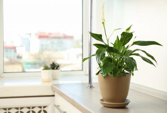 Спатифиллумы — наиболее адаптированные к разному освещению растения после сансевиерий