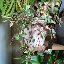 Традесканция приречная, или Флуминенсис (Tradescantia fluminensis), «Триколор» (Tricolor)