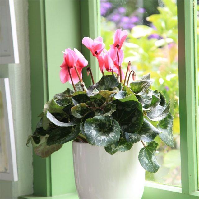 Пышно цвести цикламены смогут только на ярком освещении, но не под прямым солнцем