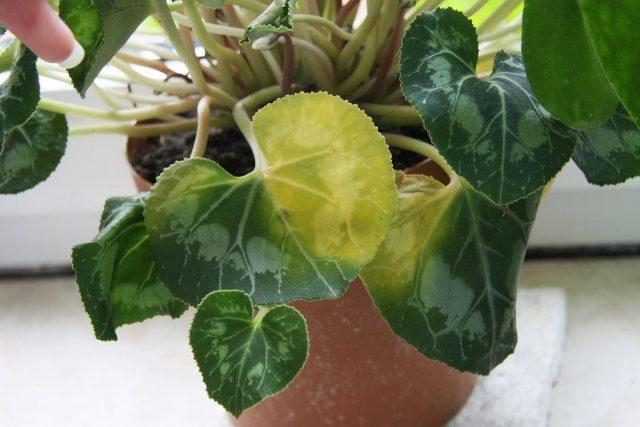 Пожелтение листвы цикламена часто указывает на недостаточное освещение