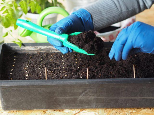 Слишком ранний посев— самая распространенная ошибка в выращивании рассады томатов