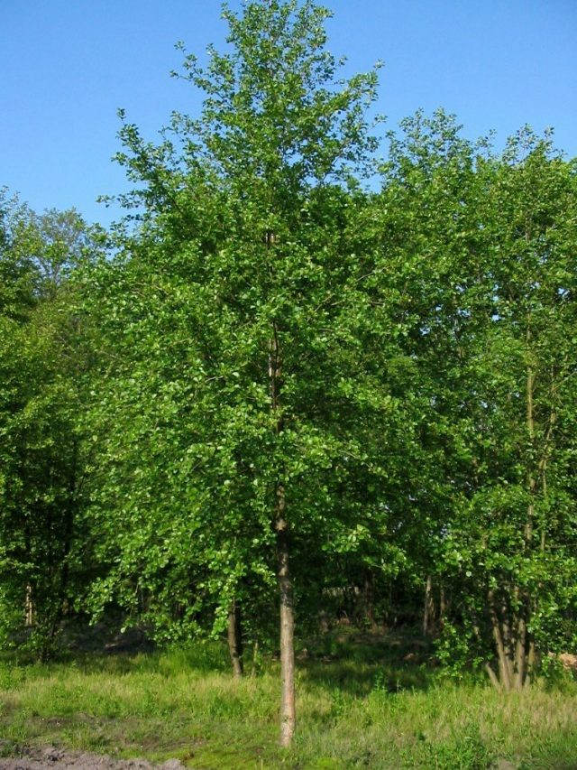 Черная ольха (Alnus glutinosa)