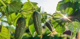 8 нехитрых правил выращивания огурца