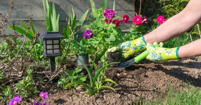 Высадка петунии в почву