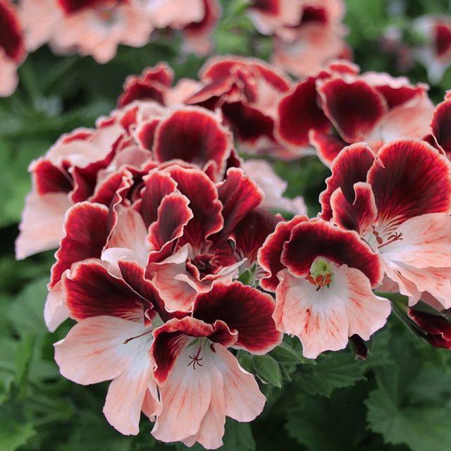 Примула или первоцвет — красивое растение в саду
