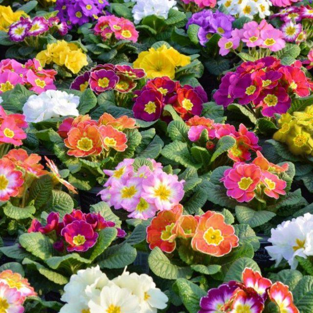 Цветовое разнообразие примулы