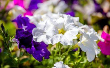 Выращиваем петунии — от семян до высадки в грунт