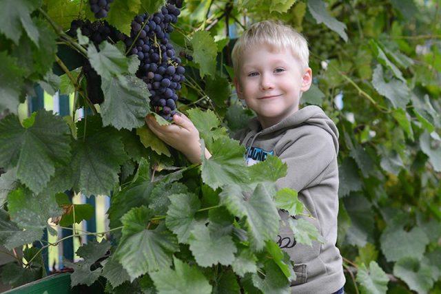 Зимостойкие сорта винограда от фирмы «Поиск»