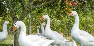 Домашние гуси — лучшие породы и особенности содержания