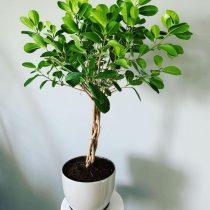 Фикус микрокарпа (Ficus microcarpa), сорт «Мокламе» (Moclame)