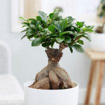 Фикус микрокарпа (Ficus microcarpa), сорт «Гинсенг» (Ginseng)