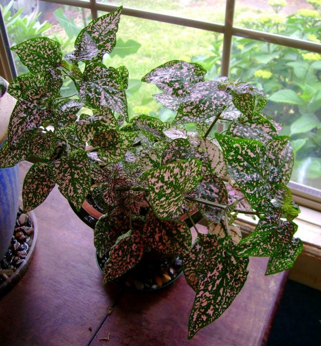Гипоэстес — яркое растение в крапинку