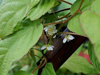 Цветение актинидии коломикта