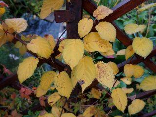 Осенняя окраска актинидии коломикта