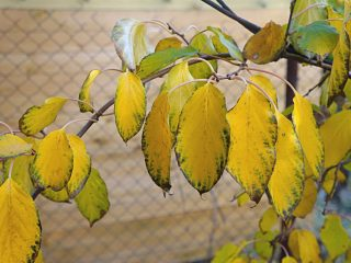 Осенняя окраска актинидии аргута