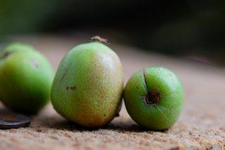 Плоды актинидии аргута