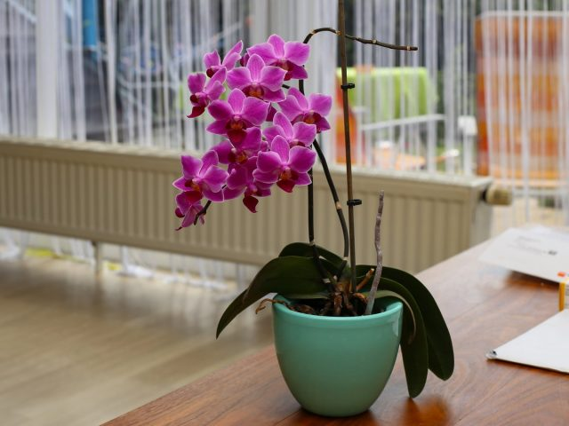 Какую орхидею выбрать для дома?