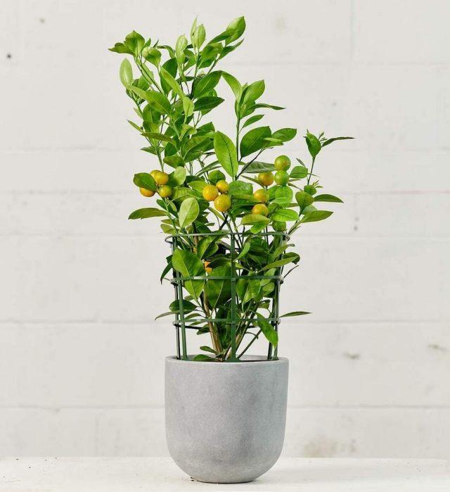 Цитрофортунелла (× Citrofortunella microcarpa, торговое имя— calamansi)