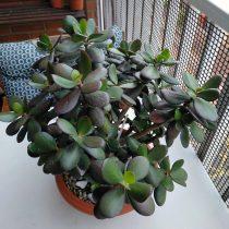 Толстянка овальная (Crassula ovata), сорт «Минор»
