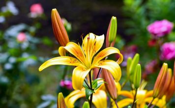 Лилии в континентальном климате — азиатские гибриды