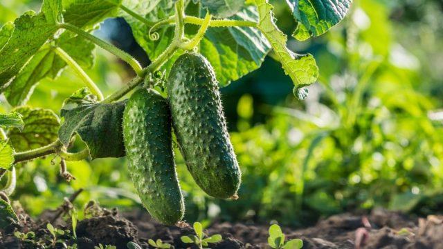 Огурцы предпочитают легкую, хорошо прогреваемую и плодородную землю