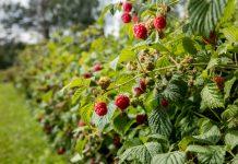 Правила закладки малинника для стабильного урожая на много лет