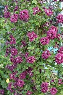 purpurea-Plena-E`legans-krupno-s