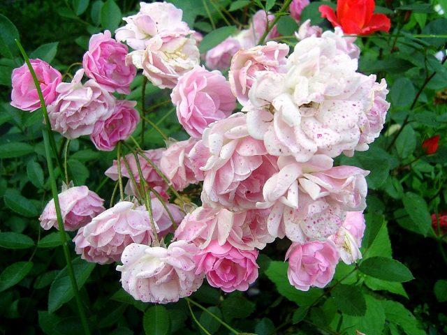 Розы — как выбрать свою?