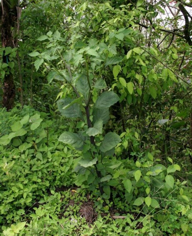 Сараха съедобная, или овощная (Jaltomata procumbens)