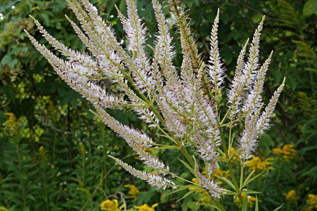 Вероникаструм (Veronicastrum) имеет трубчатые пушистые цветки