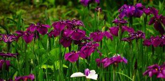 Японские ирисы хана-шобу — эксклюзив, который может поселится и в вашем саду