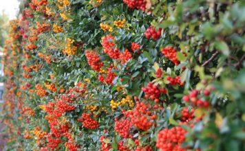Живые изгороди из плодовых кустарников — и вкусно, и красиво