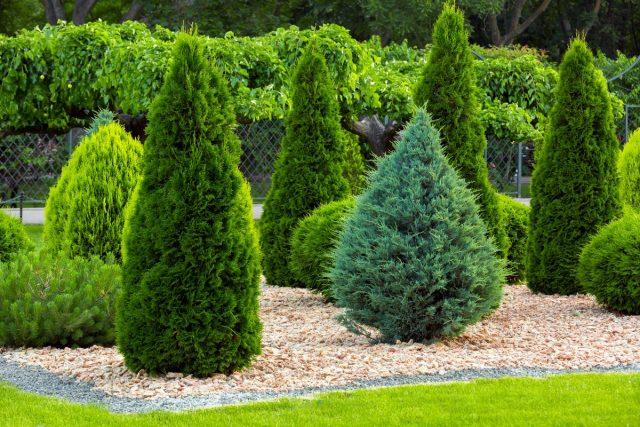 Хвойные в саду — решаем проблемы грамотно