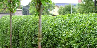 Бирючина — надежный кустарник для живой изгороди