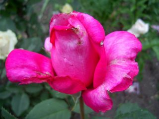 Роза «Пароль» под дождём