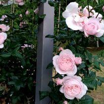 Роза «Наэма» (Nahema)