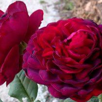 Роза «Астрид Графин фон Харденберг» (Astrid Grafin von Hardenberg)