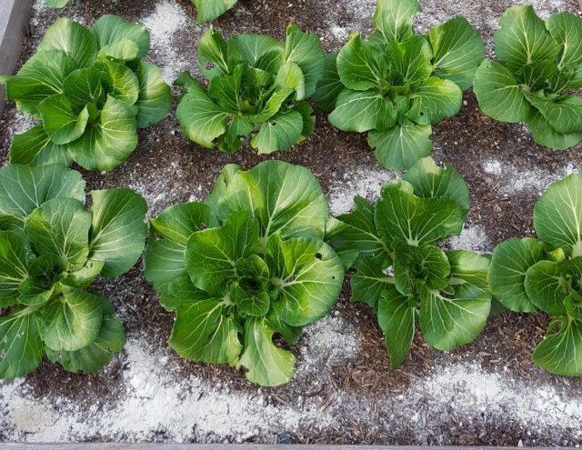 Для борьбы со слизнями нанесите диатомит по кругу вокруг растения