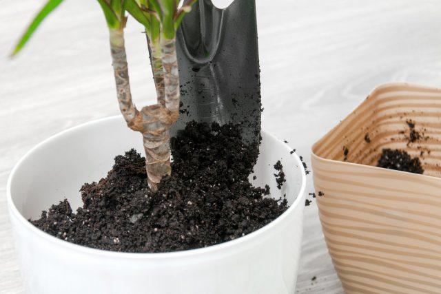 Драцена маргината любит универсальную рыхлую почву