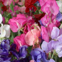 Душистый горошек (Lathyrus odoratus), сорт «Парфюм Делайт» (Perfume Delight)