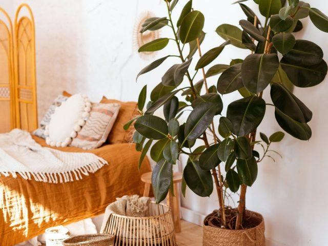 Фикус эластика — классика среди крупных комнатных растений