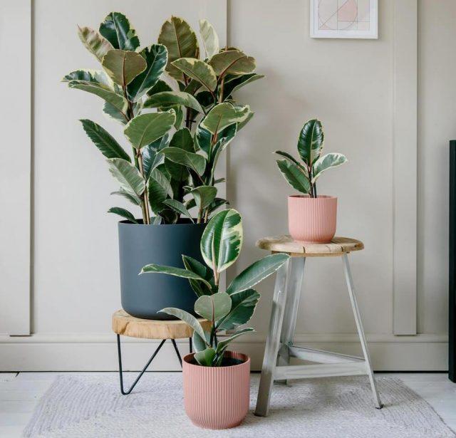 Фикус эластика, или Каучуконосный (Ficus elastica), сорт «Тинеке» (Tineke)