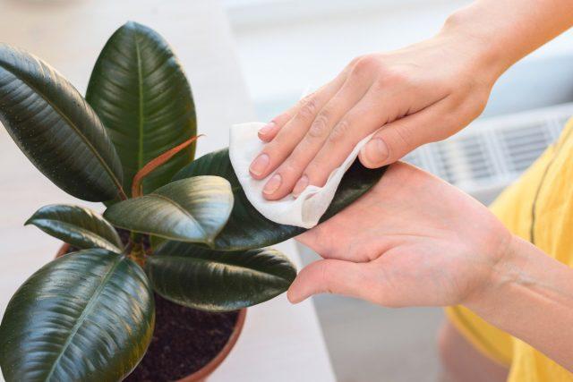 Листья фикуса нужно очень часто протирать от пыли